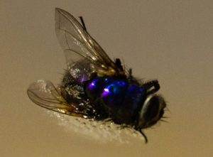 Image 1.0. A macro image of a fly melted into acrylic. Notice the fly wings and hair are undamaged despite the high optical radiation.